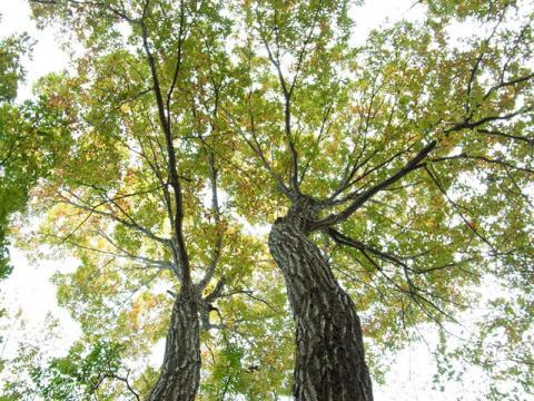 コナラ樹冠111019