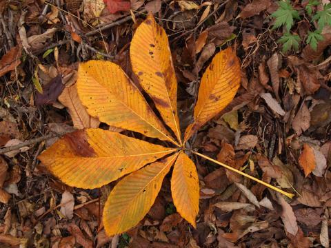 トチノキ落葉