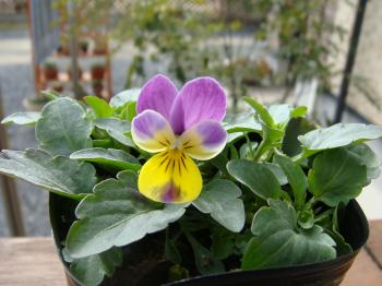 種蒔きビオラ1号開花です