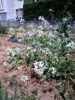 20100424春畑?大根の花