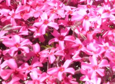 芝桜-1 021-1