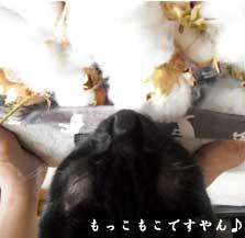 cottonshuukaku2011_2.jpg