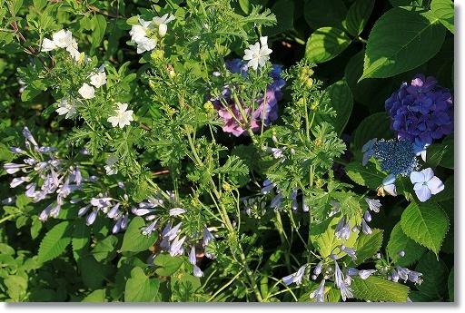 ムスクマロウ・ホワイトパーフェクションの花壇