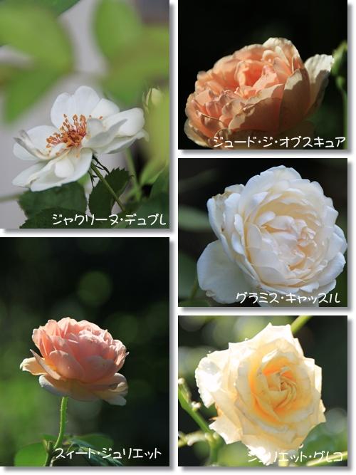 バラ 二番花