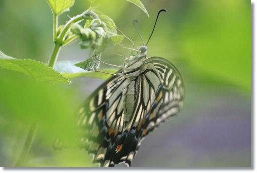 アゲハチョウ 1