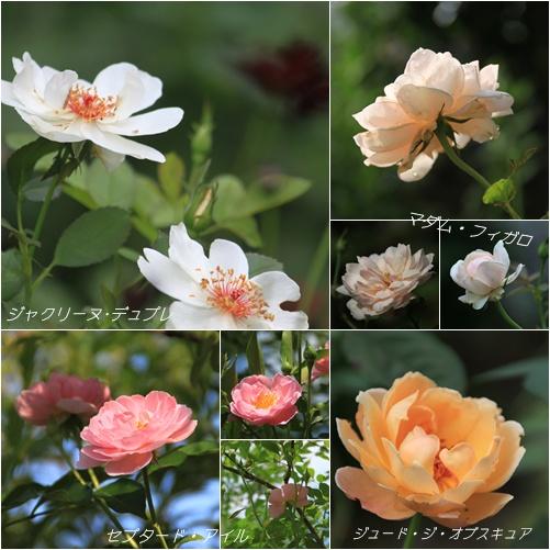 8月のバラ Ⅰ