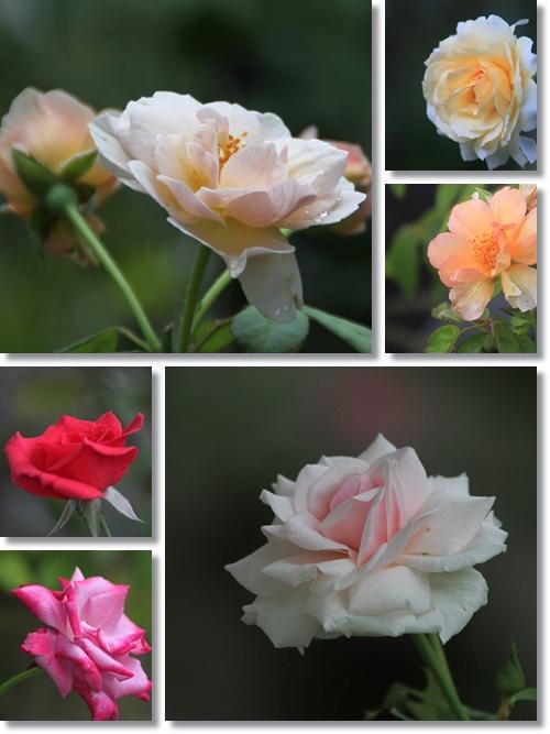 9月のバラ