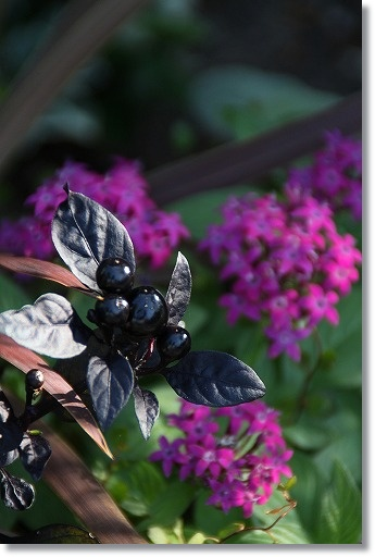 トウガラシ ブラックパール 1