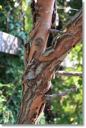 ユーカリの樹皮 1