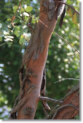 ユーカリの樹皮 2