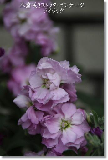 八重咲きストック・ビンテージ ライラック