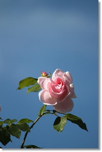 桂由美さんのコーナーのバラ