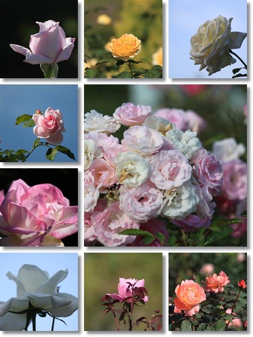 花フェスタ バラ