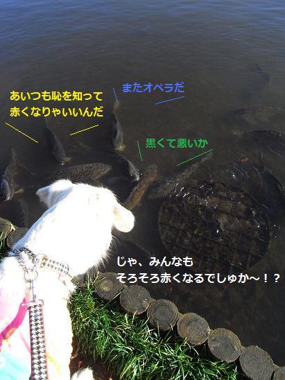 黒い鯉さん