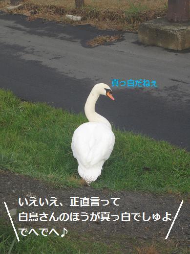 白鳥さん2