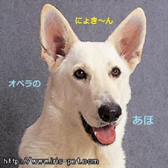 ホワイトシェパード - にょきん