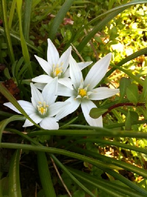 アクアの花-白