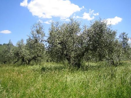 オリーブ大木