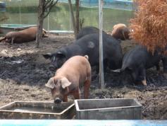 一匹の豚がテツに興味を示して・・・