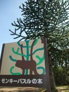 なんか不思議なモンキーパズルの木