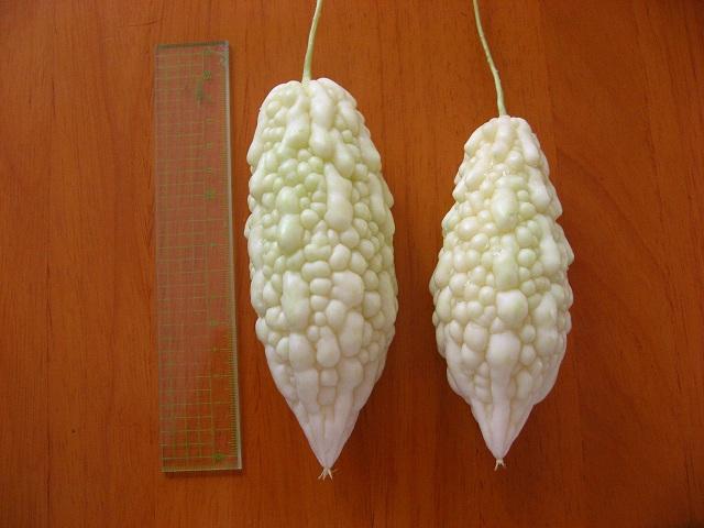 初収穫の白ゴーヤ、とても綺麗!