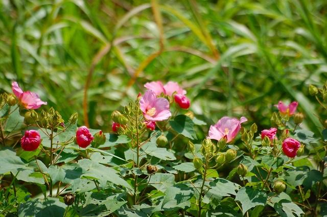 まだまだ綺麗なフヨウの花