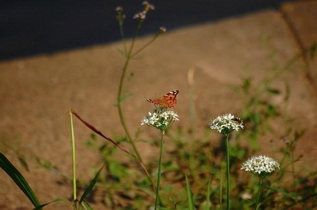 ニラバナは蝶に人気があるね♪