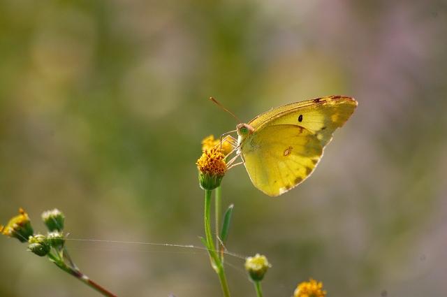 黄色い花に黄色の蝶が♪