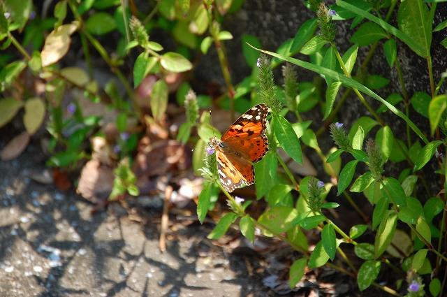 色鮮やかで小さな蝶は・・・