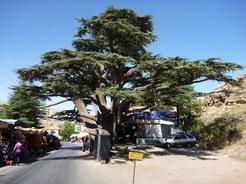 20jun2010 レバノン杉