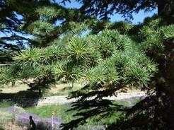 20jun2010 レバノン杉の葉