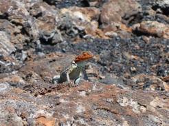 20aug2010 チコのヨウガントカゲ