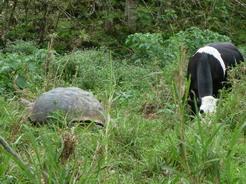 21aug2010 牛と一緒に草を食むゾウガメ