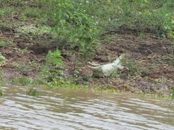 23dec2010 川岸のカイマン