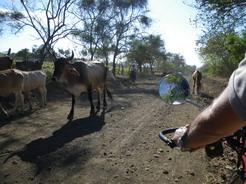 14mar2011 牛の群れの通過を待つ