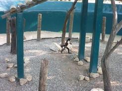 26apr2011 ここのサルも普通に二足歩行していた・・・メキシコ人もビックリ