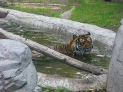 19may2011 水浴び中のトラ