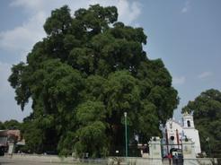 29may2011 アメリカ大陸最大と言われるトゥーレの木