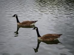 20jun2011 運河にいたガン・・・たぶんアッカ隊長と同じ種類