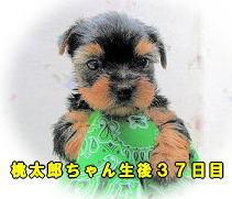 桃太郎ちゃん2
