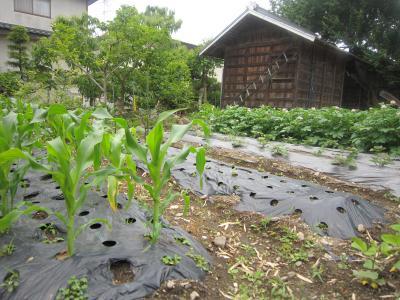110607菜園1