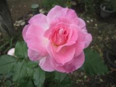 110608薔薇3
