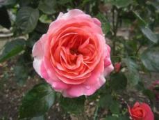 110608薔薇4