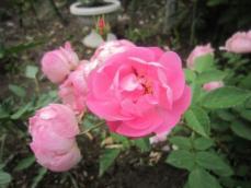 110608薔薇6