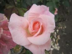 110608薔薇7