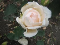 110608薔薇8