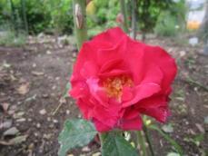 110608薔薇9