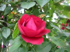 110616薔薇3