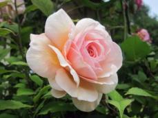 110616薔薇6