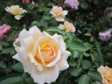 110616薔薇8
